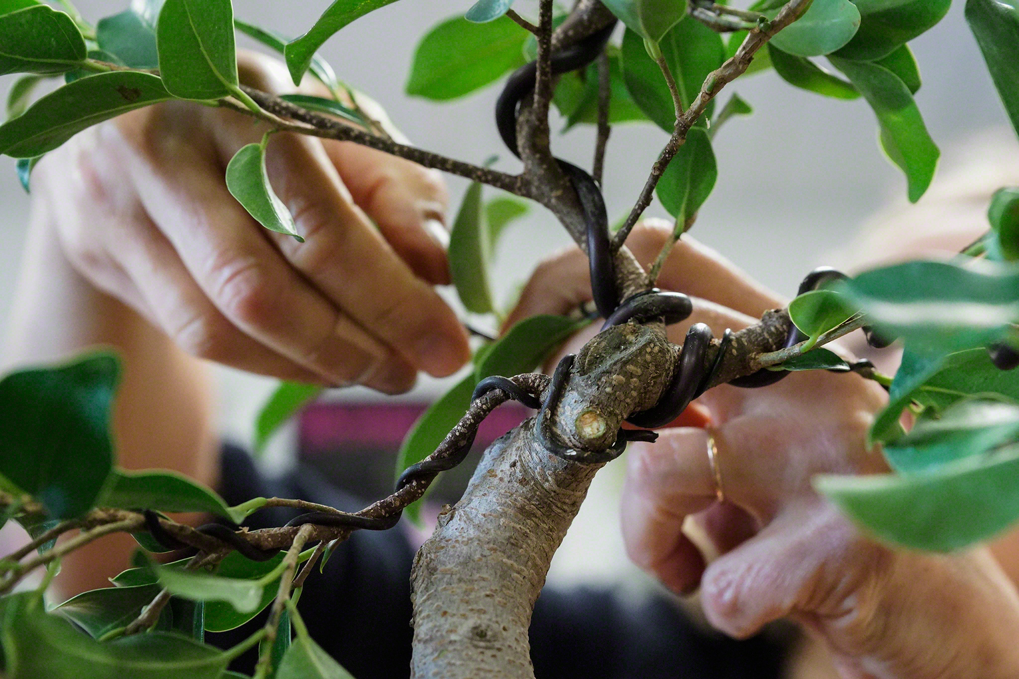 Bonsai And Penjing Darian Glover Photography Wiring Branches At National Museum