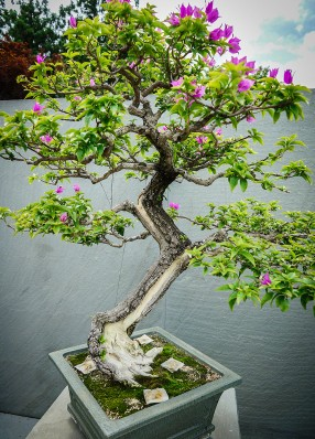 Bougainvillea at National Bonsai and Penjing Museum