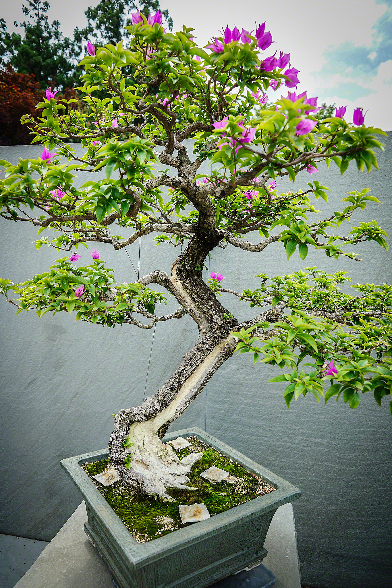 Bonsai And Penjing Darian Glover Photography Wiring Maple Bougainvillea At National Museum