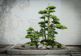 Juniper at National Bonsai and Penjing Museum Foemina