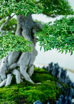 Water Jasmine at National Bonsai and Penjing Museum